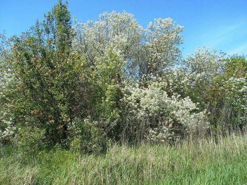 Зеленеет, цветёт, и пахнет ... DSCN5305.JPG