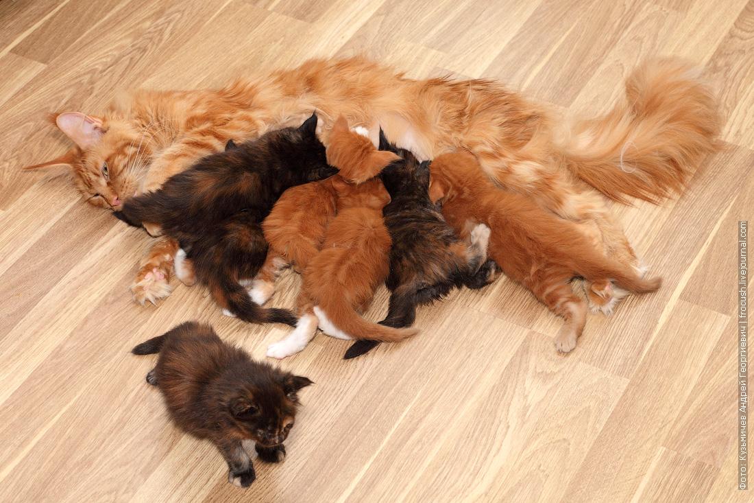 мама кошка кормит семерых котят мейн-кун