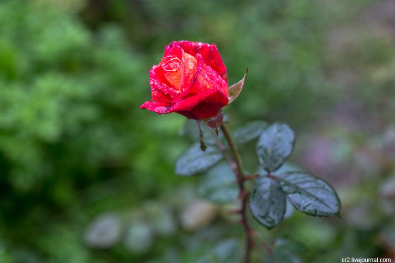 Сентябрьская роза