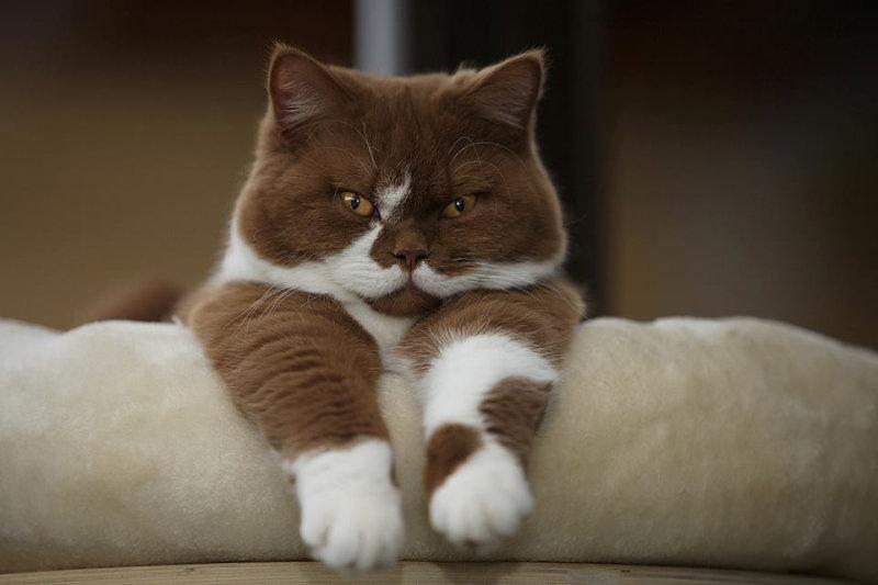Если вы не любите британцев, вы не любите котов