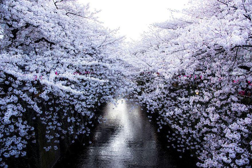 Традиция любования цветущей сакурой, как и многие другие современные японские праздники, возникла пр
