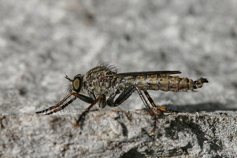 Ктырь - хищная муха серого цвета, покрытая волосками, с большими глазами, чем-то похожая на комара