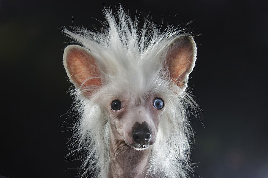 Comical Portraits of Hairless Dogs by Sophie Gamand