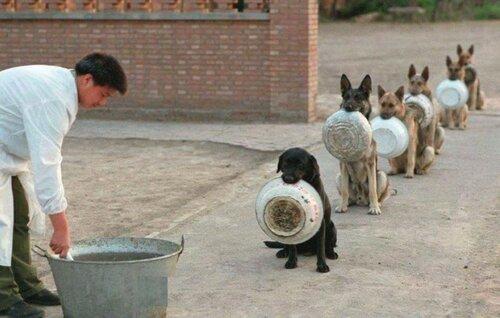 овчарки в КНР
