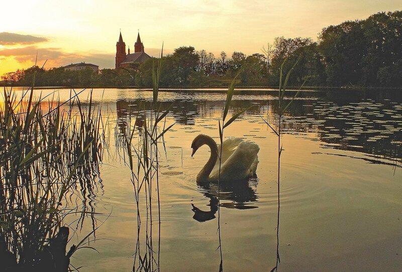 Романтичный  лебедь...