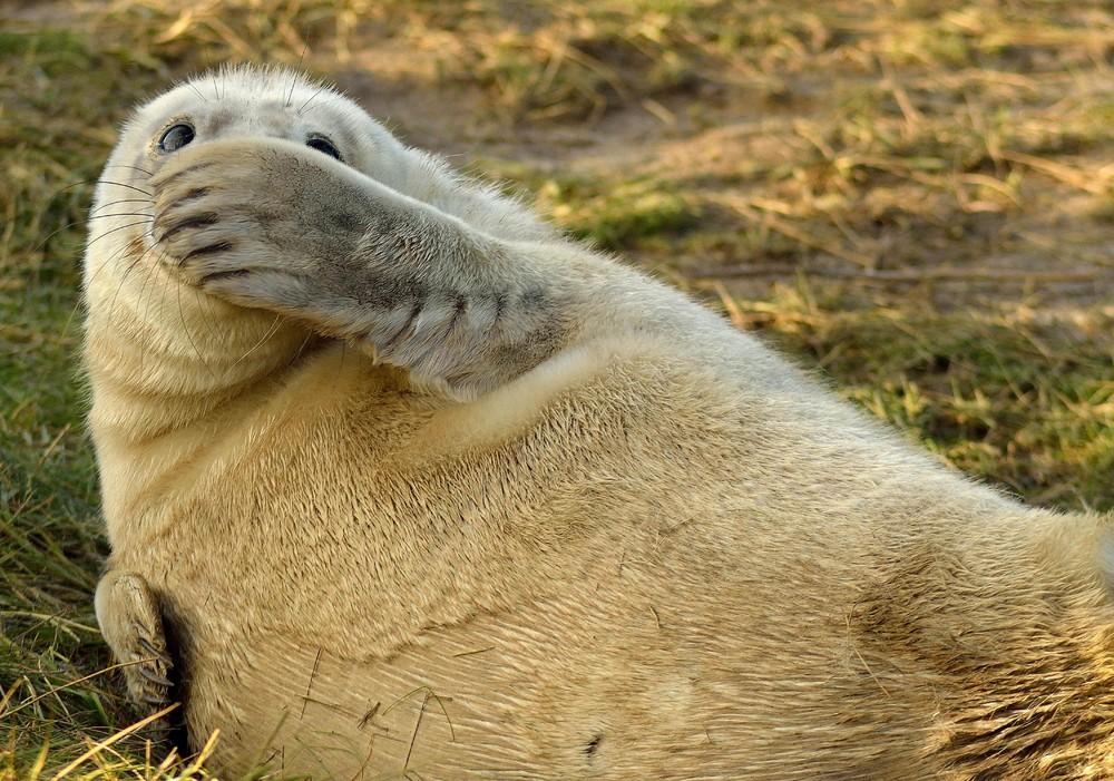 6. Смущенный тюлень: «Это не я!»