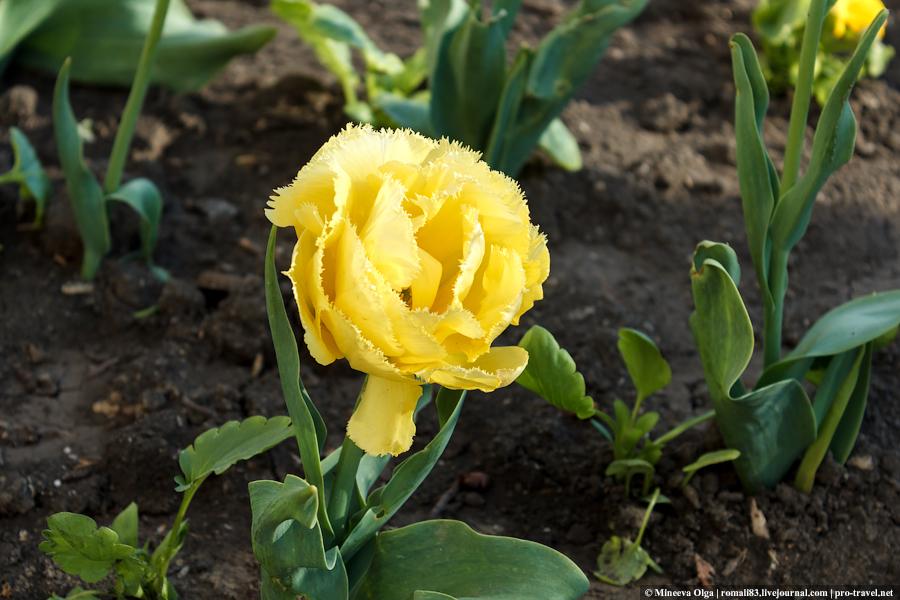 Тюльпаны Анапы