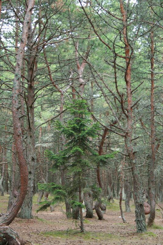 Танцующий лес. Молодняк