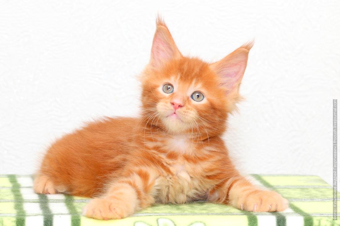 красный котенок Мейн-кун купить в Москве