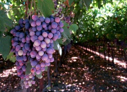 Урожай винограда в Молдове - снизился на треть