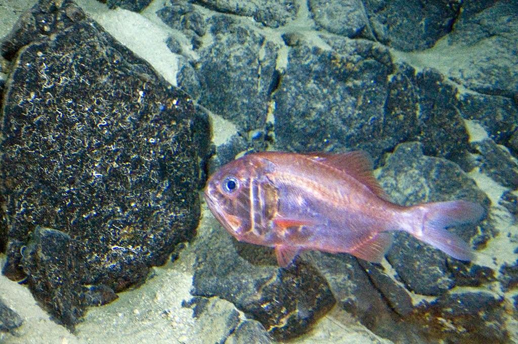 7. Хоплостет — вид глубоководных рыб, которые достигают половой зрелости после 20 лет и могут жить д
