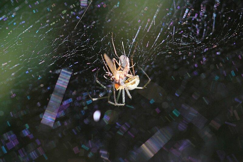 Паук на паутине поймал и поедает комара