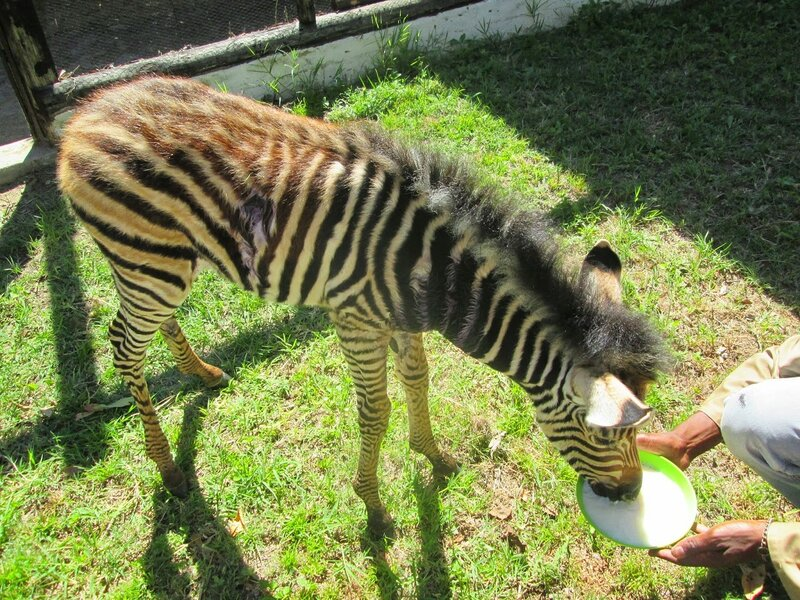 раненая зебра в Зимбабве