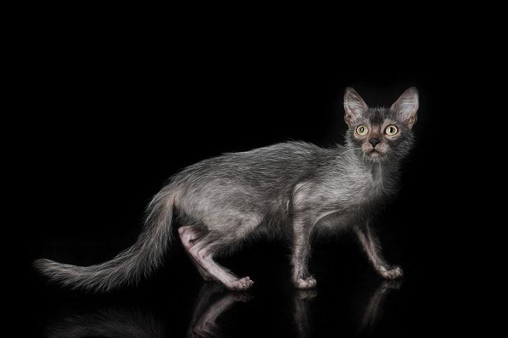 Коты-оборотни