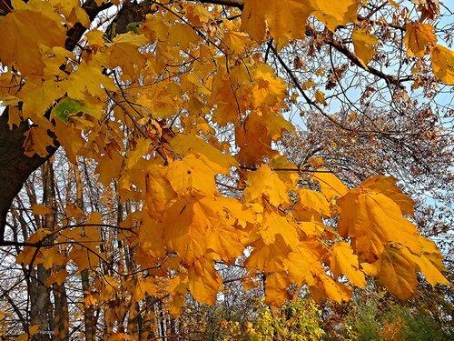 Золотые листья клена...............