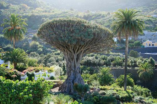 Икод де лос Винос, Драконовое дерево