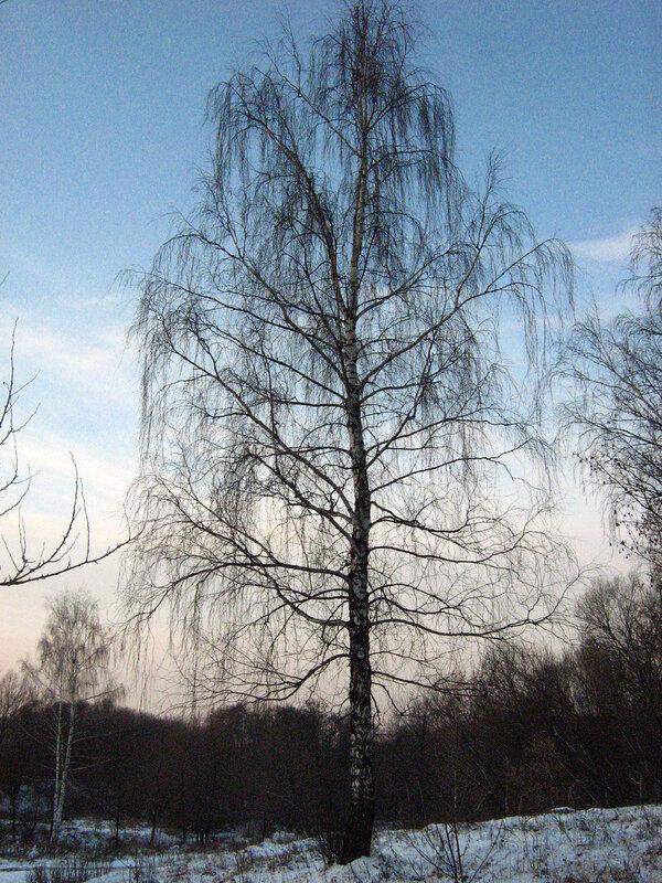 Прекрасная береза на окраине леса...