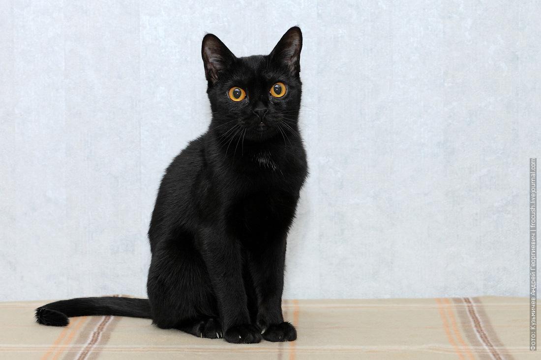 котенок бомбейской кошки