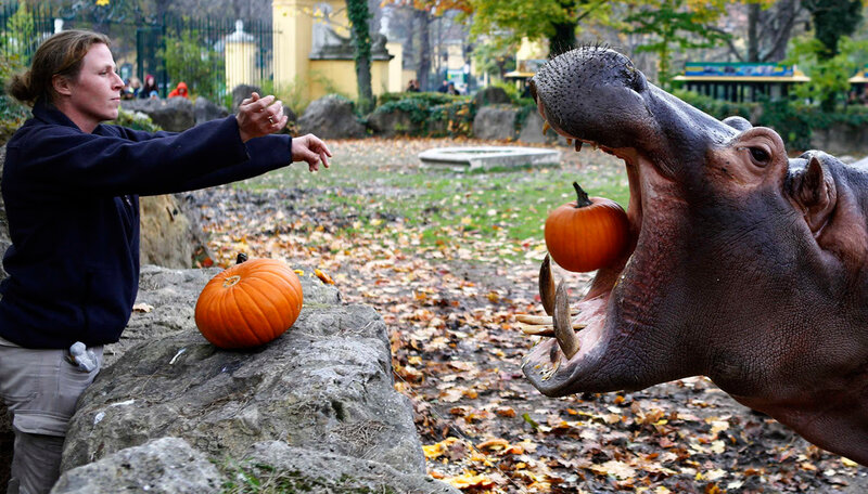 Медведи, бегемоты и обезьяны наслаждались тыквами на Хэллоуин
