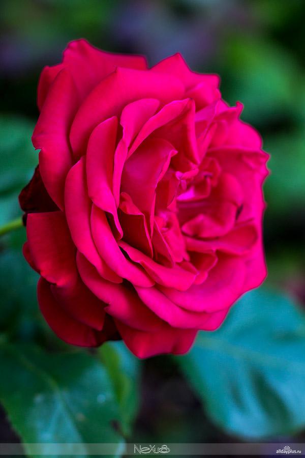 Я люблю все цветы, выпуск 123 | Роза - «Королева цветов» | «Nostalgia», «Black Baccara» и «Fairy Roses».