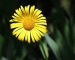 Жёлтая ромашка