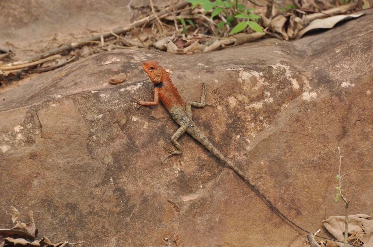 Лаосская ящерица