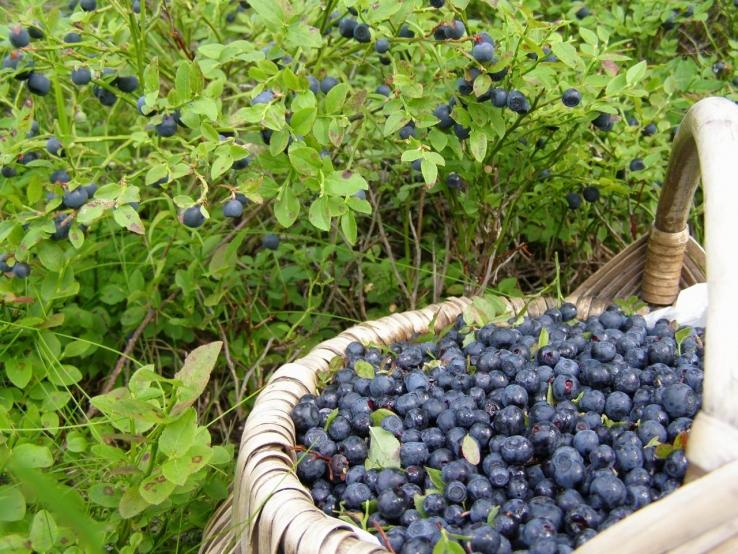 Лесхоз направил ходатайство на снятие запрета посещения лесов после его рассмотрения в Бобруйском лесном хозяйстве запрет будет отменен