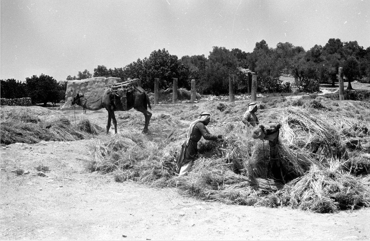 Верблюда нагружают сеном