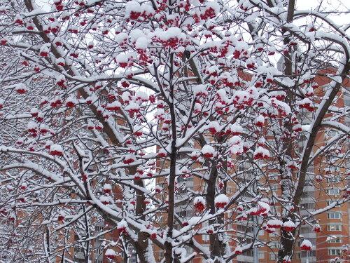 Рябина под снегом*