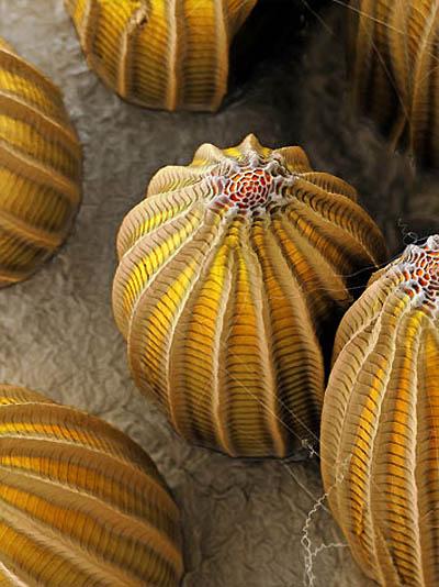 8. Яйцо капустницы Желтое яйцо капустницы под нижними листьями обычной (на фото) и брюссельской капу