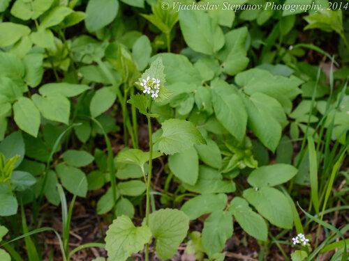 Чесночница черешковая (Alliaria petiolata) Автор фото: Вячеслав Степанов