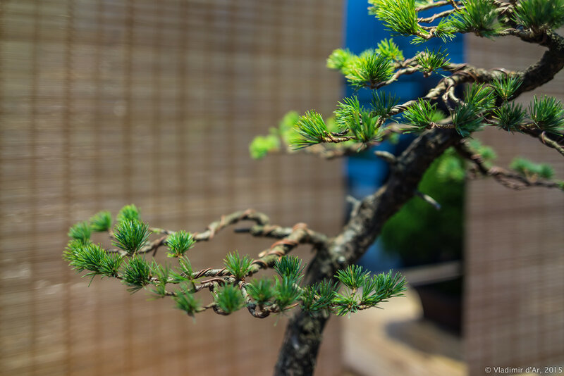 Сосна мелкоцветковая (белая японская сосна). Возраст - около 50 лет.