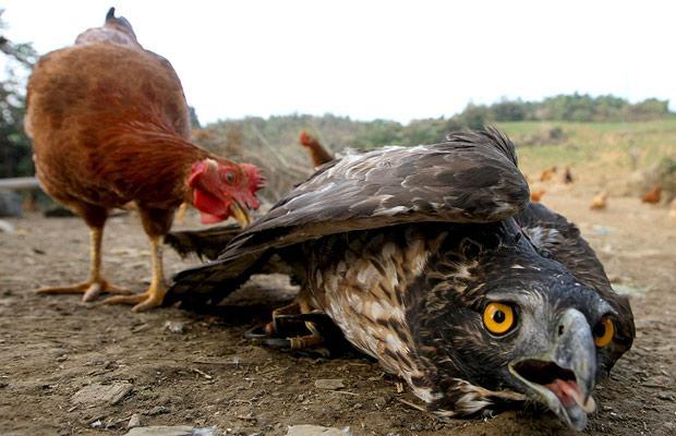 ...и других хищных птиц и бросают их домашней птице связанными, чтобы...