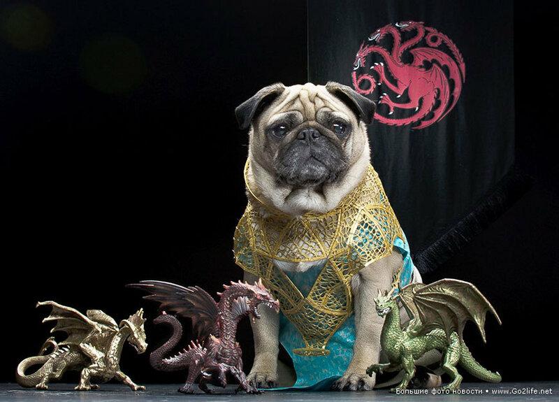 1422661735_12-game-of-thrones-cute-pugs.jpg