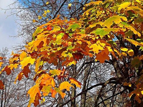 Осенняя веточка клена