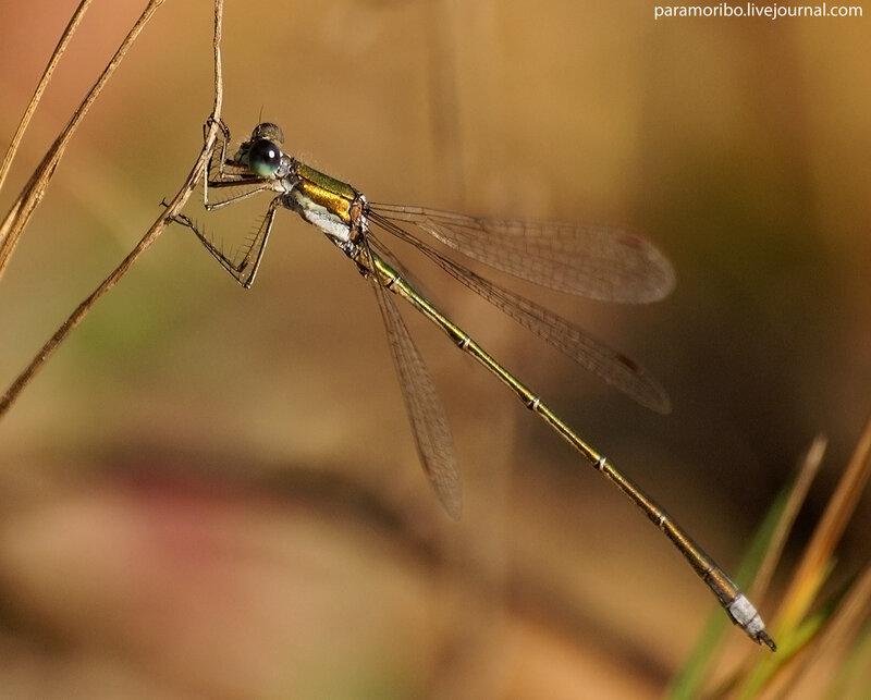 Меньше былинки, тоньше травинки / Lestes sponsa - лютка-невеста, самец
