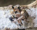Обедающий паук.jpg