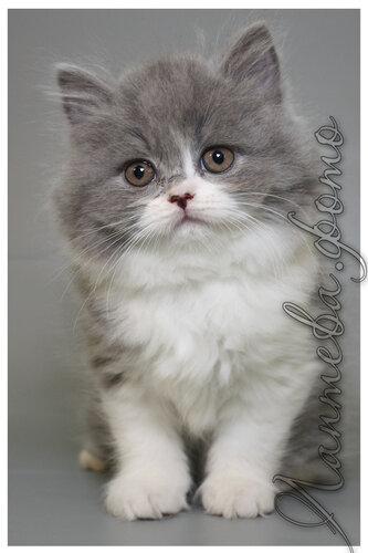 Лаптева-фото - Фотографии животных для питомников и заводчиков - Страница 4 0_155e54_e39f1edc_L