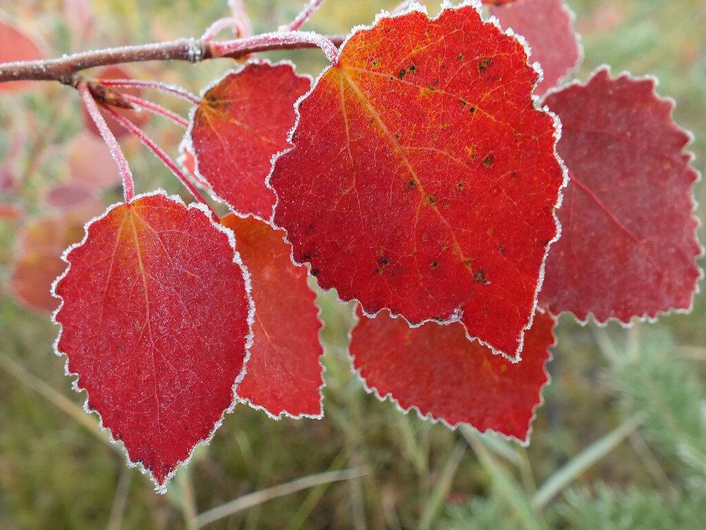 Осиновые листья в инее