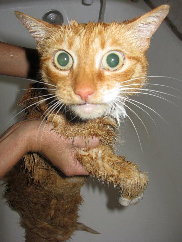 Мокрые рыжие коты