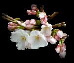 AlmondBlossoms.png
