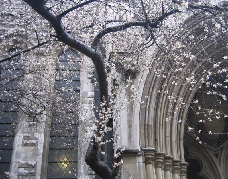 Цветущий миндаль в Лондоне