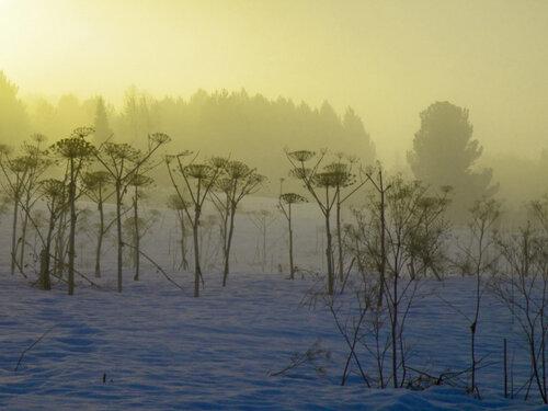 Борщевиковый лес...