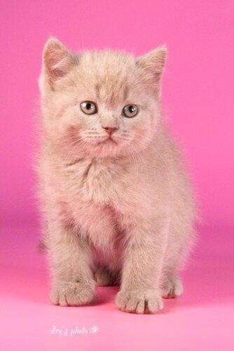 """Питомник британских и бурманских кошек  """"Sovereign Virtue """" (г.Самара)"""