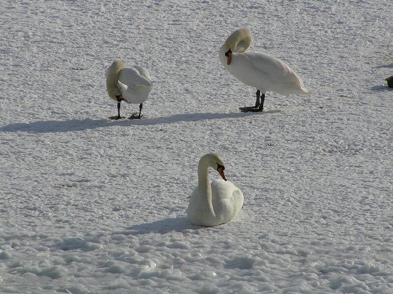 Лебеди на льду