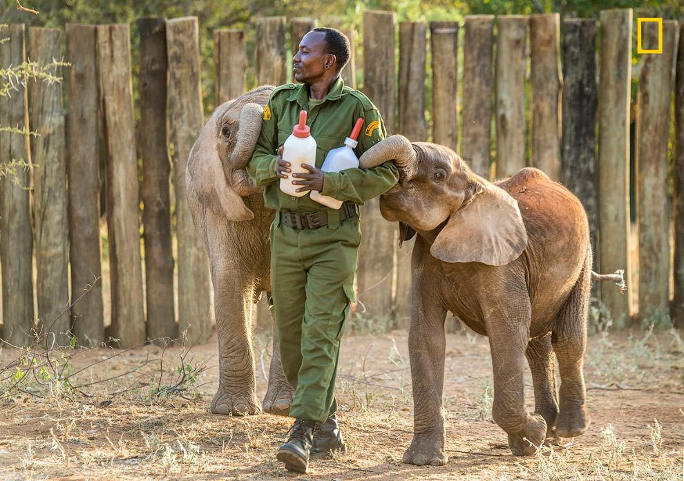 Слонов кормят каждые 3 часа. И это очень шумное дело. (Фото Ami Vitale | National Geographic):