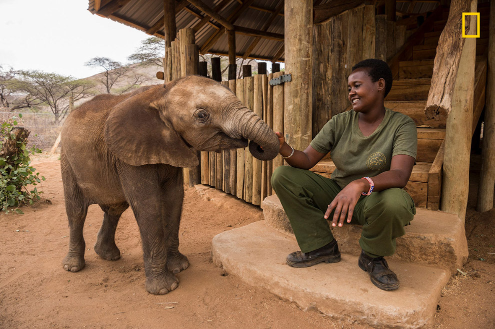 Уменьшение численности слонов оказывает влияние и на других животных. Слоны являются экосистемн