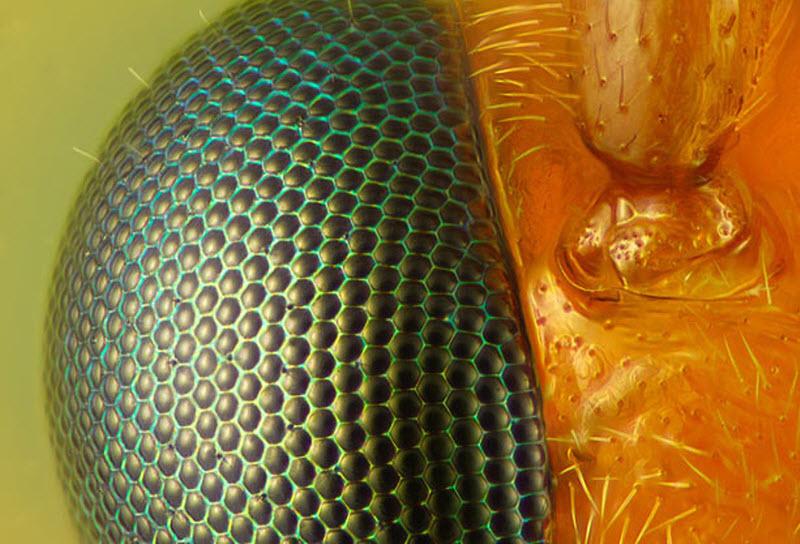 9. Глаз и усик осы (увеличение х40). Фото сделано в Иссакуа, штат Вашингтон. (CHARLES KREBS / BARCRO