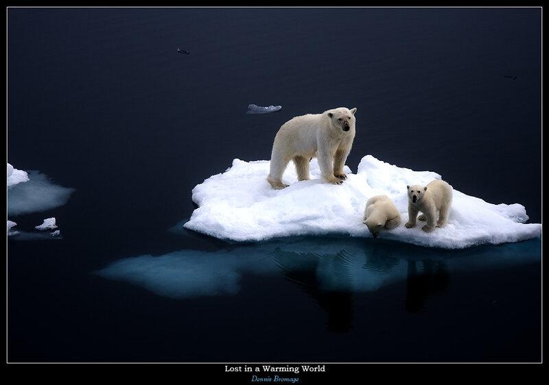 медведи на льдине