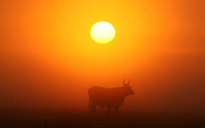 Утренняя корова
